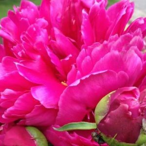 Soils for peonies!