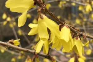 Forsythia blog set image