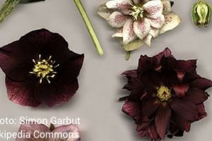 Website hellebore image